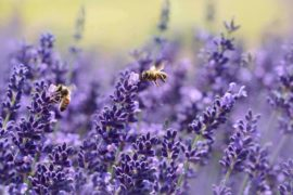bees on purple flowers - top 5 ways bees matter for our environment