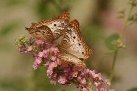 two butterflies on flower - 5 tips to create a butterfly garden