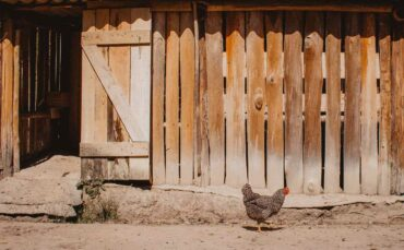 chicken in front of wooden fence - building a backyard chicken coop