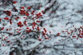 shrub with red berries in snow - protect trees and plants from winter