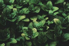 close up of oregano - can plant psychology help us grow better gardens