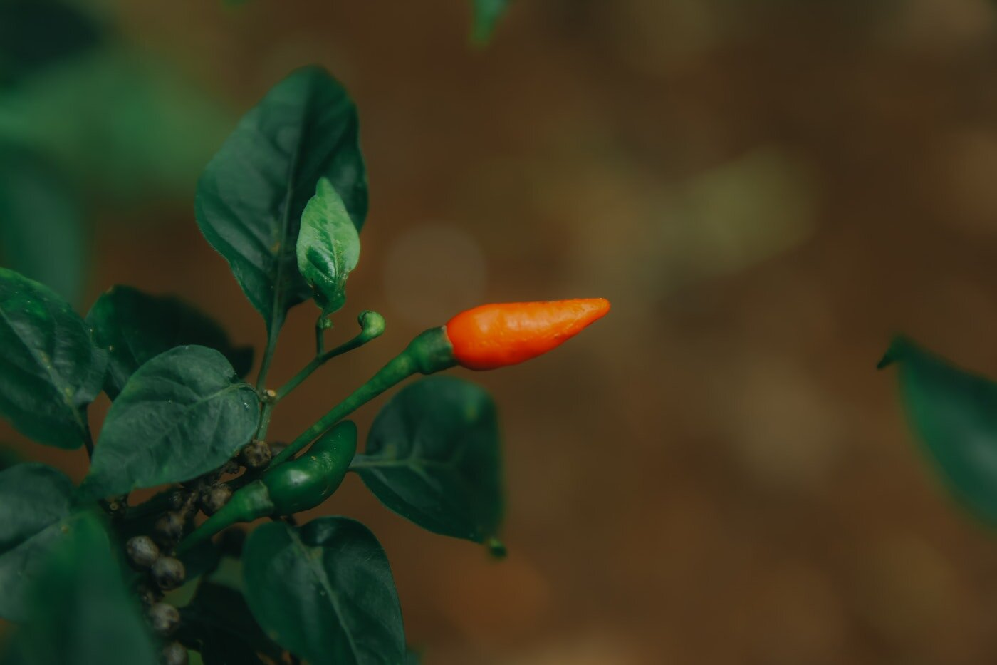 close up of chili pepper plant - which types of vegetables can be grown indoors