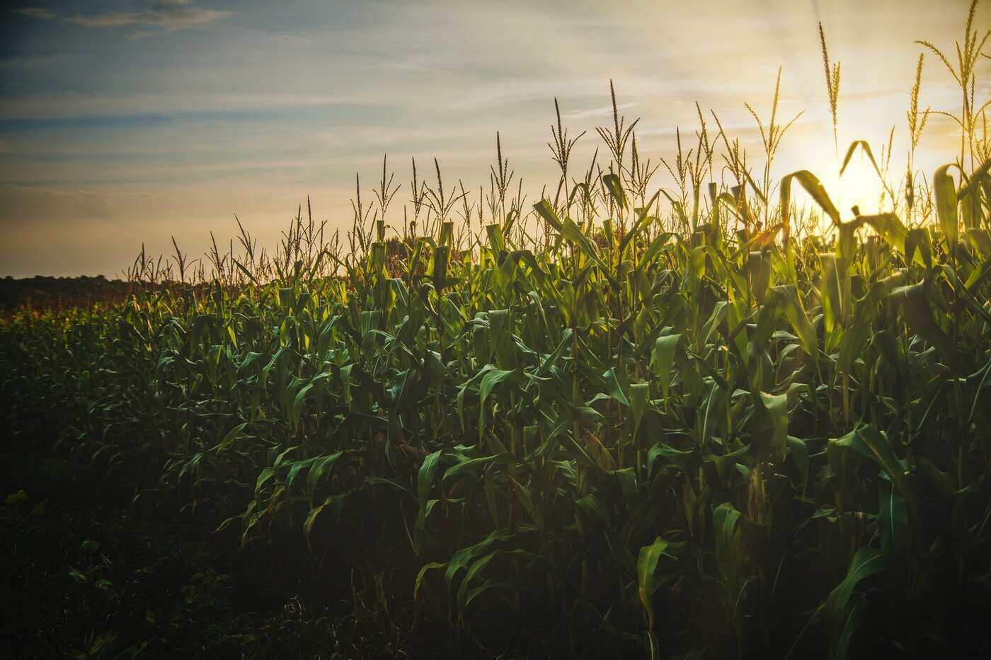 corn field - the not-so-secret dangers of paraquat and how it affects you