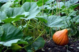 squash in garden - square foot gardening