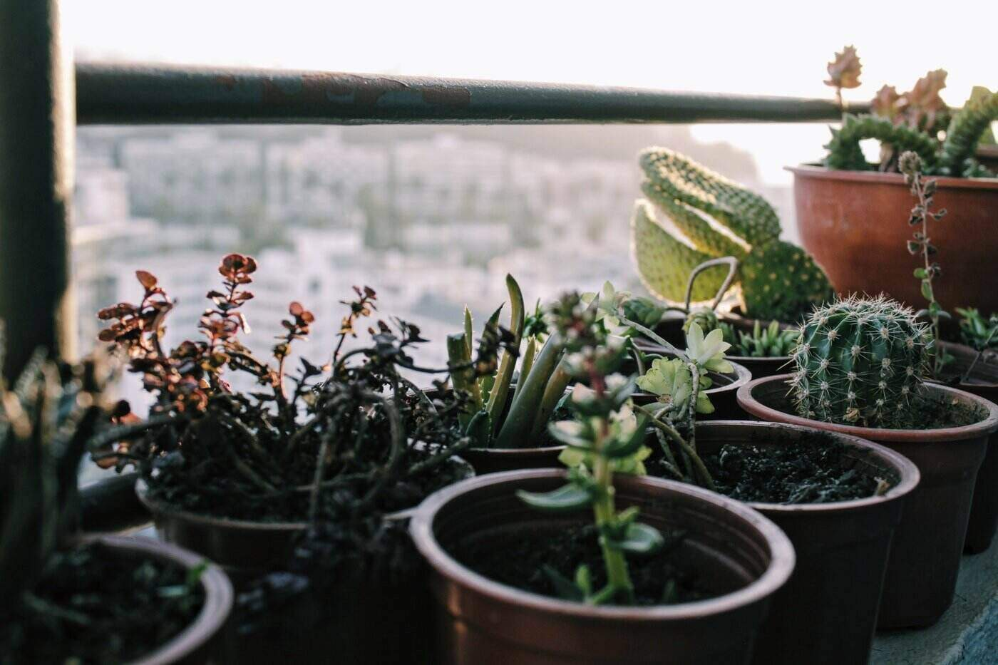 succulents in pots by large window - how to grow and care for succulents indoors