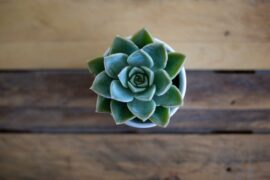 top view of echeveria plant - how to grow and care for succulents indoors