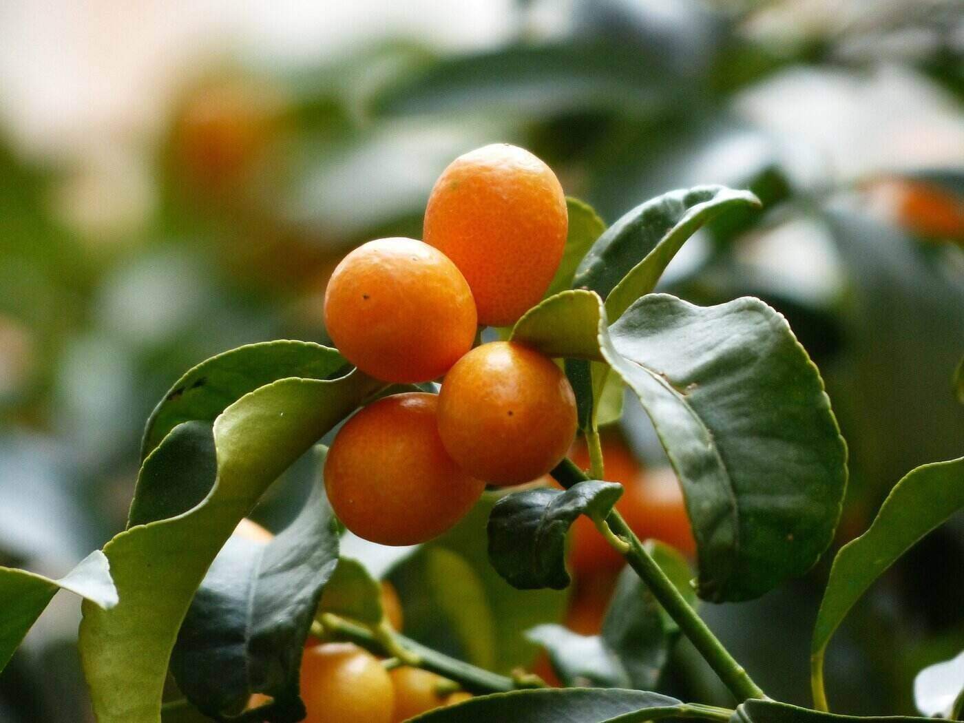 kumquats on branch - 5 citrus fruits to grow in a greenhouse