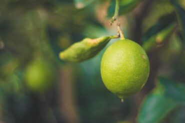 lime hanging from branch - 5 citrus fruits to grow in a greenhouse